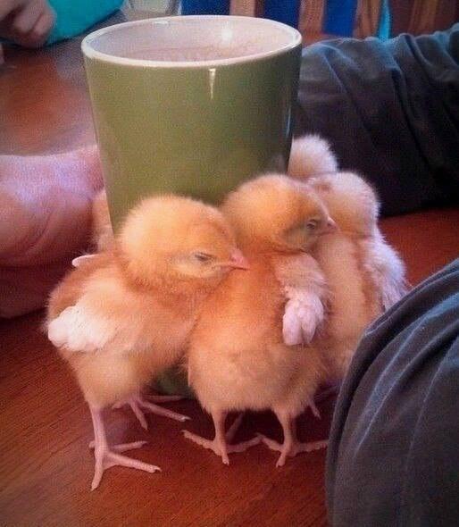 цыплята (514x590, 220Kb)