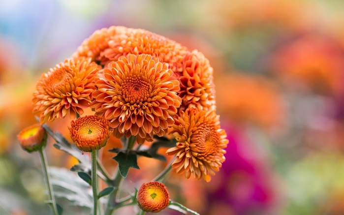Orange-Chrysanthemum-2560x1600 (700x437, 137Kb)
