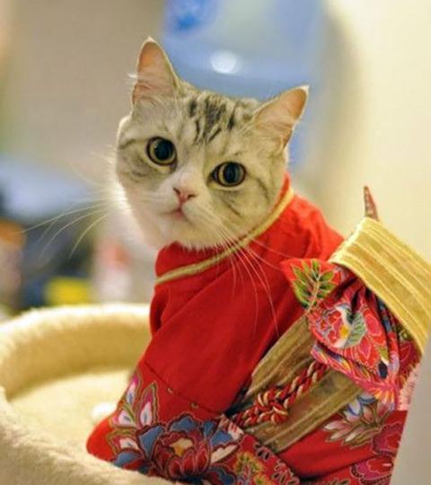 кошки в кимоно фото 10 (480x540, 228Kb)