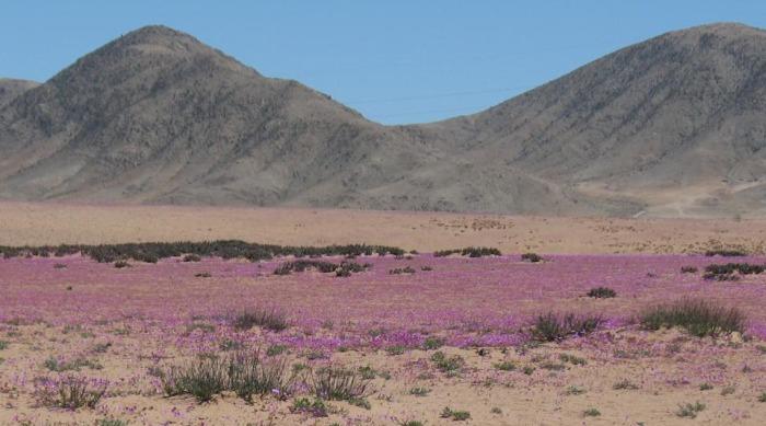 цветущая пустыня атакама фото 2 (700x389, 227Kb)