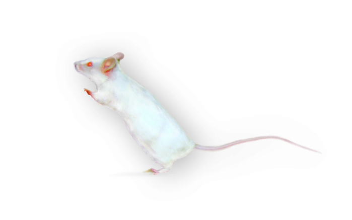 White pet mouse W (700x437, 46Kb)