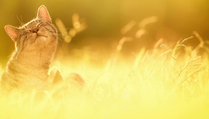 cat-in-the-sunset-animal-hd-wallpaper-1920x1080-37227-min (700x399, 180Kb)