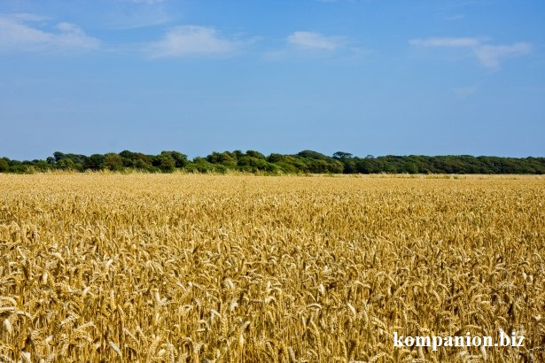 5146534_wheatfieldlandscape1377287513q6K (615x410, 119Kb)