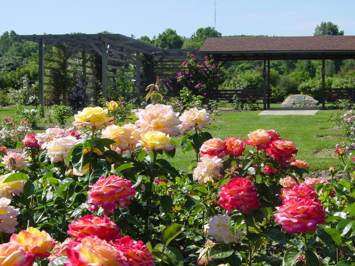Чем подкормить розы во время цветения в открытом грунте