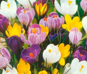 300x256-images-stories-img-ras-55-crocus (300x256, 24Kb)