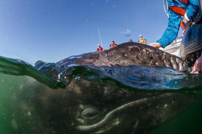 серый кит фото 3 (700x466, 249Kb)
