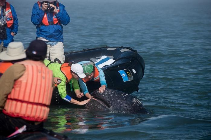 серый кит фото 5 (700x466, 244Kb)