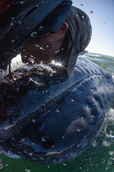 серый кит фото 11 (463x700, 369Kb)