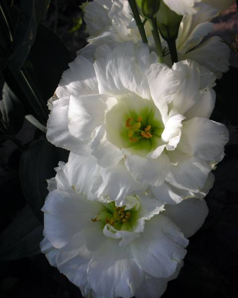 Eustoma8 (480x602, 25Kb)