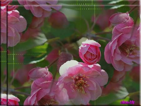 Сакура-розовая (450x338, 267Kb)