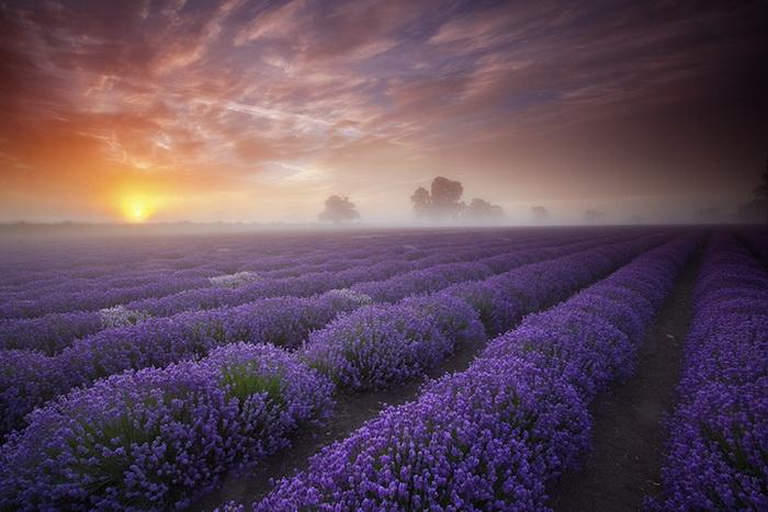 3085196_lavenderfields1 (700x467, 123Kb)