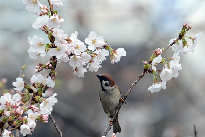 цветение сакуры в японии фото  (700x466, 256Kb)