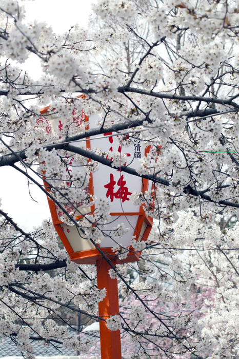цветение сакуры в японии фото 2 (466x700, 529Kb)