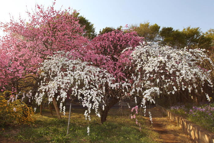 цветение сакуры в японии фото 4 (700x466, 493Kb)