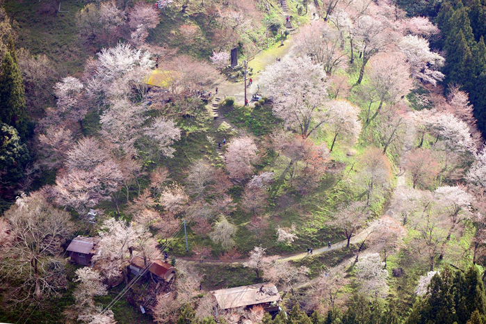 цветение сакуры в японии фото 8 (700x466, 449Kb)