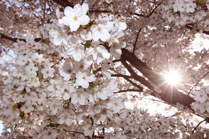 цветение сакуры в японии фото 10 (700x466, 419Kb)