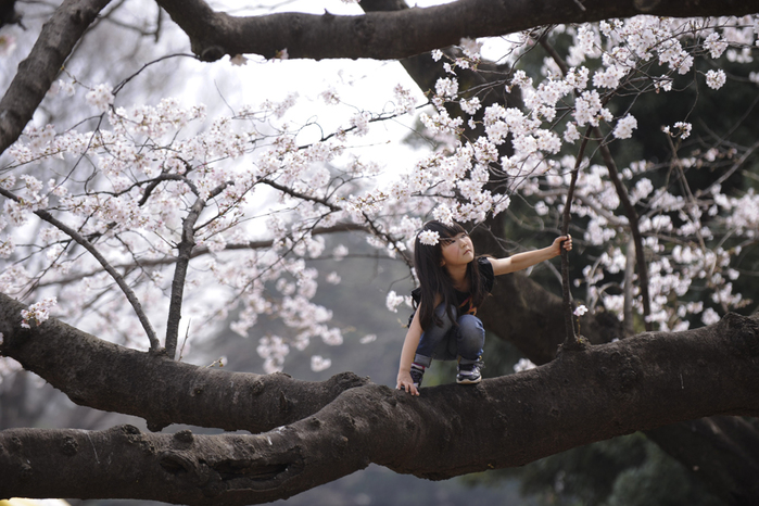 цветение сакуры в японии фото 11 (700x466, 309Kb)