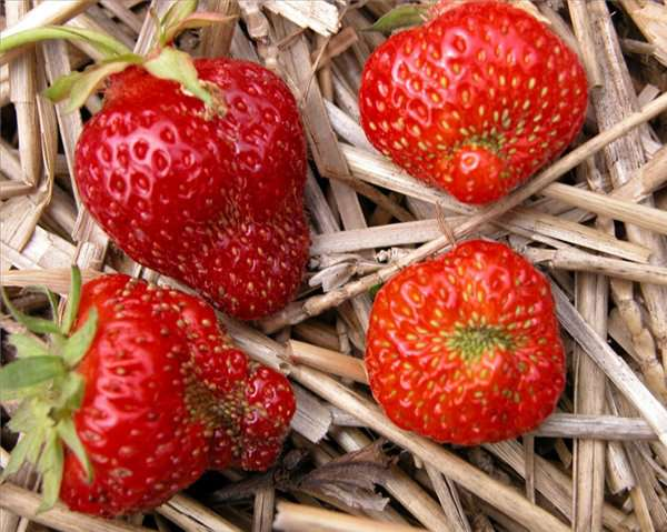 deformed_strawberries_12 (600x479, 80Kb)