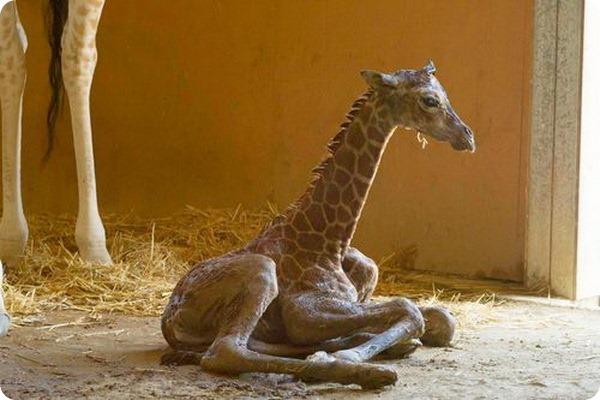 жираф фото 1 (600x400, 69Kb)