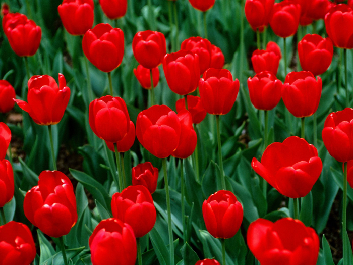 red_tulips (700x525, 435Kb)