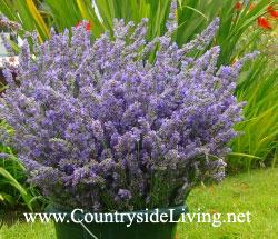 4552223_Lavendervera_Jul11 (250x215, 27Kb)