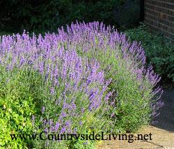 4552223_lavender_nextdoor (250x215, 29Kb)