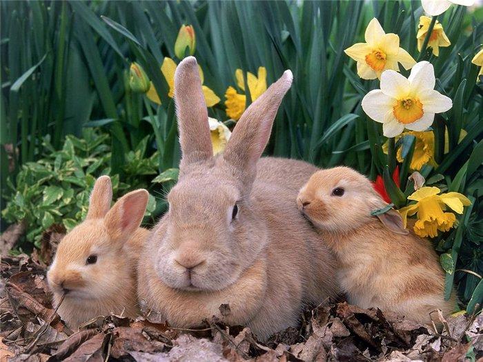 кролики (700x525, 98Kb)
