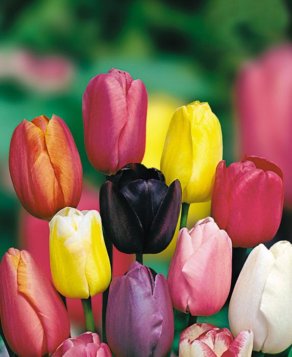 все сорта и виды тюльпанов с фото