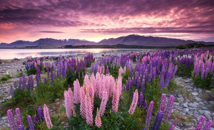 озеро текапо новая зеландия 11 (700x426, 91Kb)
