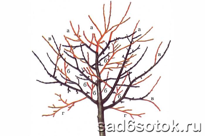 Обрезка молодого запущенного дерева после прекращения образования кроны: а - понижение высоты; б - прореживание; в...