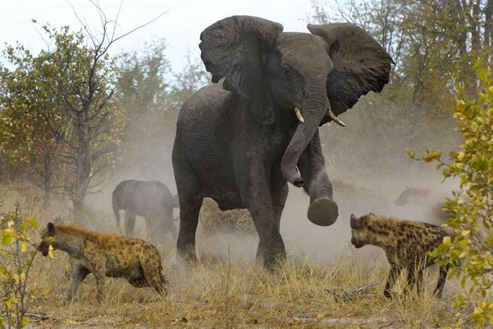 Слониха сразилась с гиенами за своего слонёнка