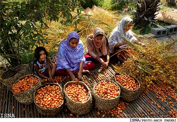 Harvesting-Dates-Minab-Iran3 (567x392, 114Kb)