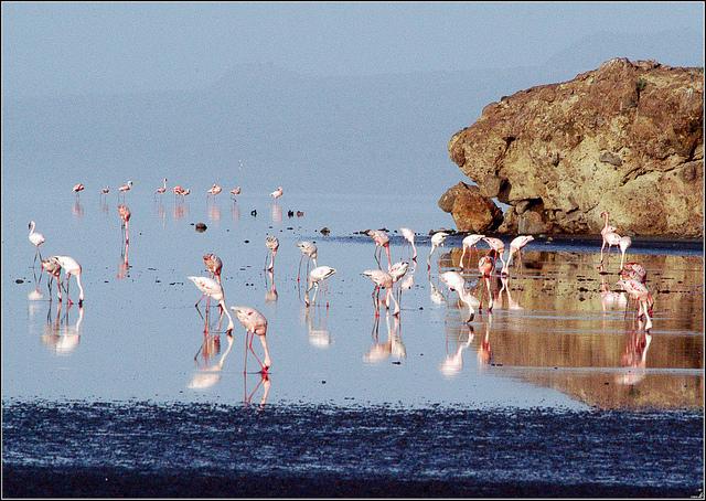 фламинго фото озеро натрон в танзании 2 (640x454, 322Kb)