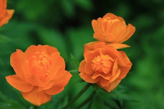 Цветы жарки картинки 2
