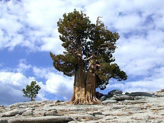 Сосна Мафусаил — самый старый живой организм на планете. Этой сосне 4843 года. Она выросла из семени, которое упало на землю в 2832 году до нашей эры (550x413, 55Kb)