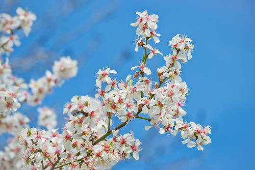 0_cd2e9_e1e4b892_L миндаль цветёт (500x334, 90Kb)