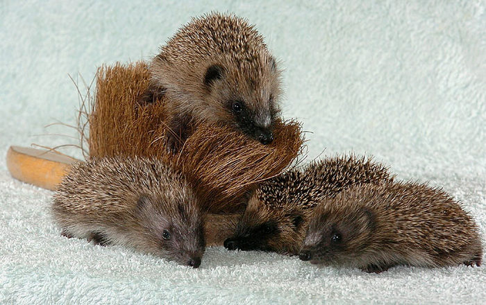 Hedgehogs03 (700x440, 99Kb)