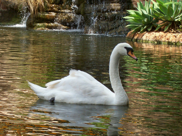 swan-desktop-wallpaper (700x525, 536Kb)
