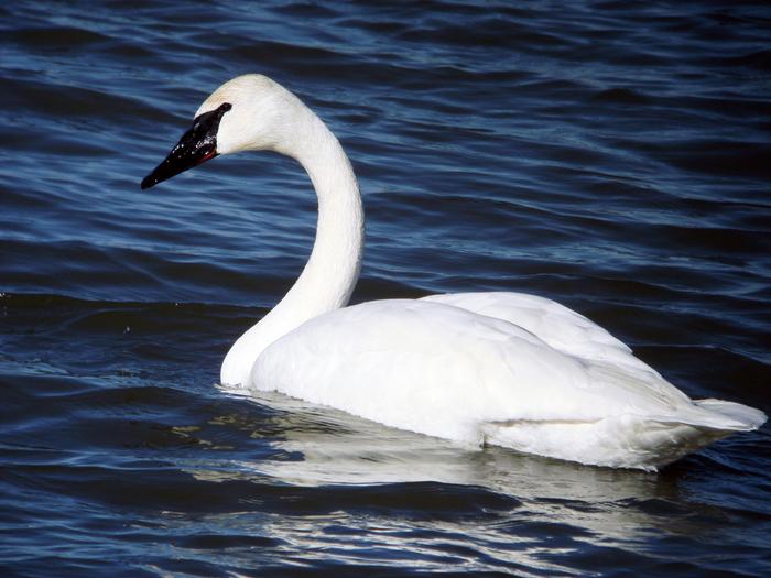 swan-sea-wallpaper (700x525, 460Kb)