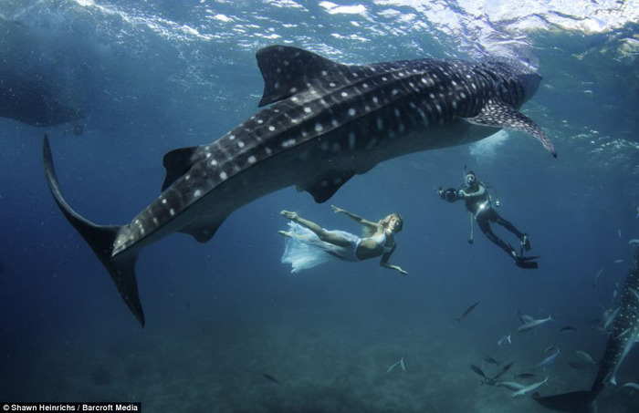 китовая акула фото (700x453, 80Kb)