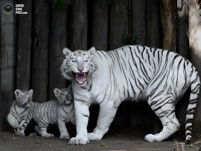 белые тигры фото 1 (700x528, 127Kb)
