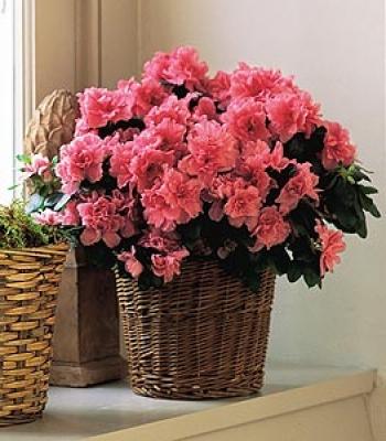 Азалия. очень красивое, цветущее растение из рода Рододендрон.  Кустарник достигает размеров в 1-3 м высотой и...