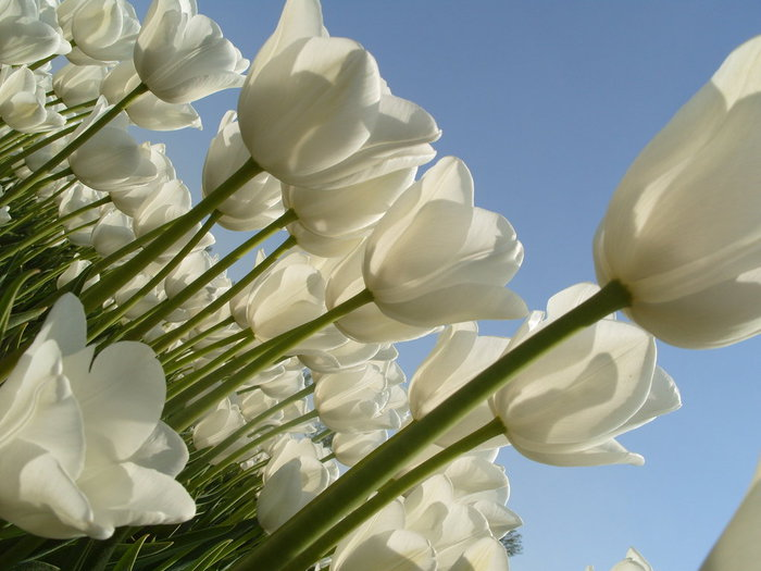3303834_white_tulips_14 (700x525, 69Kb)