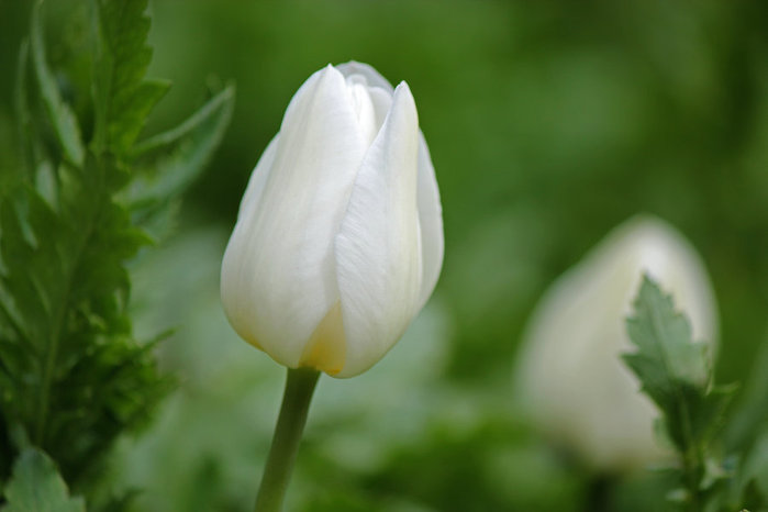 3303834_white_tulips_20 (700x466, 35Kb)