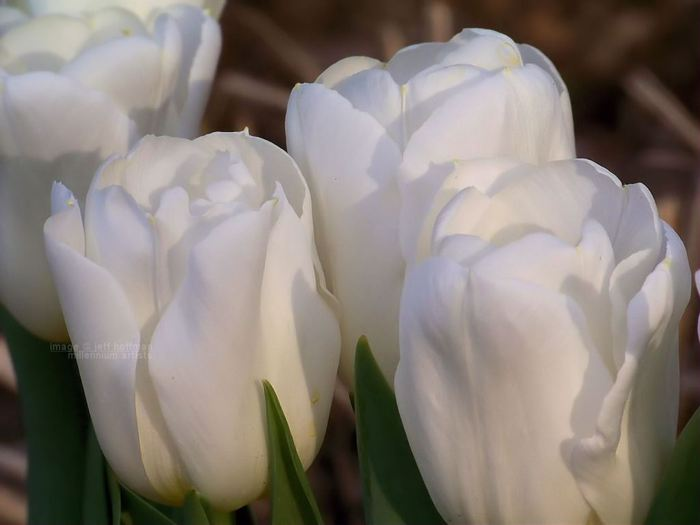 3303834_white_tulips_6 (700x525, 29Kb)