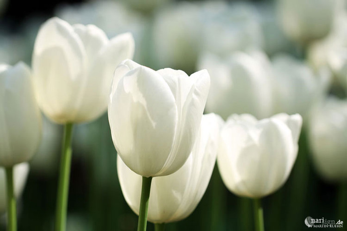 3303834_white_tulips_15 (700x466, 64Kb)