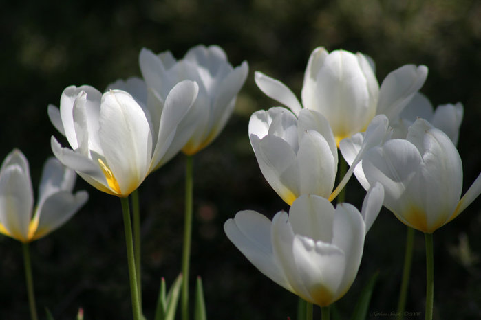3303834_white_tulips_5 (700x466, 45Kb)