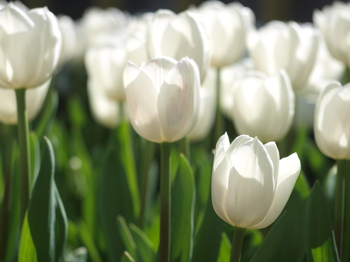 3303834_white_tulips_22 (700x525, 80Kb)