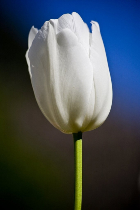 3303834_white_tulips_9 (466x700, 126Kb)