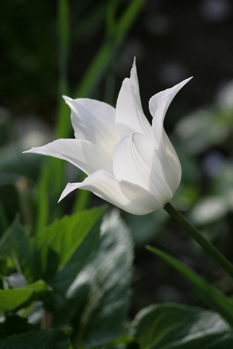 3303834_white_tulips_3 (466x700, 147Kb)